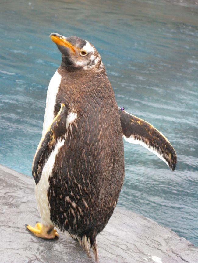 札幌から寄り道を経て、旭山動物園に到着。<br /><br />楽しみにしていた旭山動物園は、<br />当初半日の見学を計画していたのですが、<br />展示内容や混雑のことなどを考慮して、<br />思い切って2日間(各半日ずつ)見学することに。<br /><br />さ、この時間内で思う存分見学するぞー!!<br /><br /><br />*旭川市立旭山動物園*<br />http://www5.city.asahikawa.hokkaido.jp/asahiyamazoo/<br /><br /><br />*関連旅行記*<br />北海道・GWぐるり道北の旅! <br />【vol.1】1日目:まずは札幌へ<br />http://4travel.jp/traveler/sportcross/album/10564862/<br />【vol.2】2日目am:北海道遺産・江別レンガと旧町村農場<br />http://4travel.jp/traveler/sportcross/album/10564928/<br />【vol.3】2日目pm:滝川式ジンギスカンと北鎮記念館・男山酒造り資料館(旭川)<br />http://4travel.jp/traveler/sportcross/album/10565763/<br />【vol.4】2日目pm~3日目am:雨の旭山動物園2days<br />http://4travel.jp/traveler/sportcross/album/10566186/<br />【vol.5】3日目pm:旭川ラーメン食べて、いざ稚内へ<br />http://4travel.jp/traveler/sportcross/album/10568234/<br />【vol.6】3日目pm:来たぞ、北の最果て稚内!<br />http://4travel.jp/traveler/sportcross/album/10568245/<br />【vol.7】4日目am:稚内 岬めぐりと海の幸!!<br />http://4travel.jp/traveler/sportcross/album/10568765/<br />【vol.8】4日目pm:豊富のおいしいものとサロベツ原野<br />http://4travel.jp/traveler/sportcross/album/10569366/<br />【vol.9】5日目am:苫前ヒグマ事件と小平ニシン番屋<br />http://4travel.jp/traveler/sportcross/album/10571210/<br />【vol.10】5日目pm:留萌・増毛おいしいものと古き良き街並み<br />http://4travel.jp/traveler/sportcross/album/10572194/<br />【vol.11】5日目pm:札幌すすきの行列グルメ<br />http://4travel.jp/traveler/sportcross/album/10574414/<br />【vol.12】6日目:また来るよー北海道!その前に新千歳空港のおいしいもの♪ <br />http://4travel.jp/traveler/sportcross/album/10574424/<br />