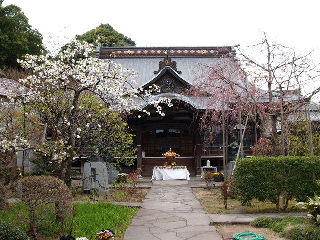 横浜市戸塚区戸塚町にある親縁寺は時宗のお寺で富塚山親縁寺という。本尊は時宗で信仰する仏である阿弥陀如来である。寺の創建は元応元年(1319年)に遊行寺の呑海上人が開いたものとされている。開山の他阿呑海(たあどんかい)(文永2年(1265年)〜 嘉禎2年(1327年))は俣野五郎景平の弟とされ、兄の援助で総本山清浄光寺(遊行寺)を開いた遊行四代で遊行寺の開山上人である。寺名は三縁(親縁・近縁・増上縁)に因っている。元は大坂下にあったが、明和年間(1764年〜1772年)に現在地に移ってきた。<br /> 親縁寺には枝垂れ桜があったので春の桜の頃に訪れてみた。紅枝垂れ桜はまだ咲き始めであったが、満開ともなれば境内ももっと華やぐだろう。<br />(表紙写真は親縁寺本堂)
