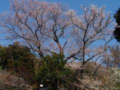 鎌倉で見ておきたい桜