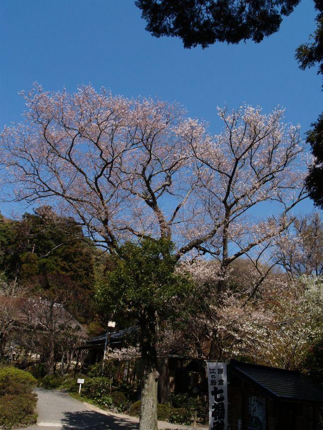 鎌倉市の木はヤマザクラ(山桜)で昭和50年(1975年)に制定されており、35年が過ぎた。鎌倉では谷戸の山を彩るのはやはり山桜である。また、その無骨な感じは武士の古都に相応しいものかも知れない。その山桜にも分類される大島桜の樹齢150年という桜並木が300m程度も続いている今泉の尾根道は見過ごすことはできない。鎌倉一の桜である。染井吉野は全国何処でもそうなのだが、鎌倉でも多く見られる。鎌倉で見ておきたい桜といえば、由緒ある古木の桜は勿論の他、鎌倉の地にちなんだ桜も植えられている。<br /> 桜といえば枝垂れ桜だが、鎌倉市内では若木を含めて350本余りを確認している。おそらくは鎌倉市内では400本を越える程度の本数であろう。大部分が平成になってから植えられたものだ。ここでは、40、50年を越えると思われる30本弱の枝垂れ桜を紹介する。そのために、本覚寺や本興寺の枝垂れ桜は選から漏れた。この数が倍増する10年後、20年後が楽しみだ。<br />(表紙写真は北鎌倉浄智寺のタチヒガン桜)