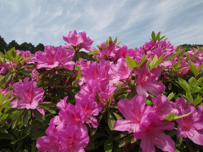 5月中、今満開の花といえば、ツツジでしょうか。<br /><br />ちょっと時期は過ぎてしまっているのでしょうか。<br /><br />ツツジといえば、堺の浅香山浄水場の通り抜けが有名ですが、今年は東日本大震災に配慮して中止となっています。<br /><br />いろいろ調べていくと、西国観音霊場第10番札所である京都宇治の三室戸寺の庭園のツツジは二万株とのこと。<br /><br />まだ咲いているのではと思って、出かけてみました。<br /><br />ツツジまだ満開の場所が半分くらいはあり、またシャクナゲやタイサンボクやアジサイのきれいな花が咲いており、良い時間を過ごすことができました。<br /><br />【写真は、三室戸寺のツツジです。】