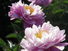 大船フラワーセンターのシャクヤク~光に透けた花びら~