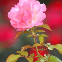 Solitary Journey [907] 脳内リフレッシュにはお花観賞が一番~♪(今回は薔薇) <福山市ばら公園&緑町公園>広島県福山市
