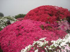 高原の花 ~霧のツツジ~