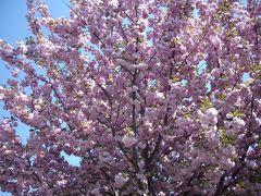 欧州桜旅・チェコ(プラハ)の桜