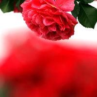 Solitary Journey [908] またまた薔薇観賞^^;)です。脳内リフレッシュ~♪ <広島バラ園&蜂ケ峰総合公園>広島県廿日市市