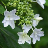 静岡 花巡り〜その2 香勝寺の桔梗と極楽寺の紫陽花