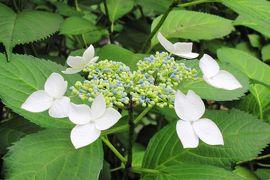 2011梅雨、鶴舞公園の紫陽花・八幡山古墳(1)紫陽花