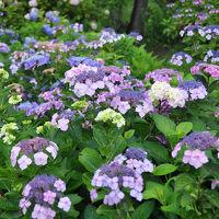 大鐘家の紫陽花
