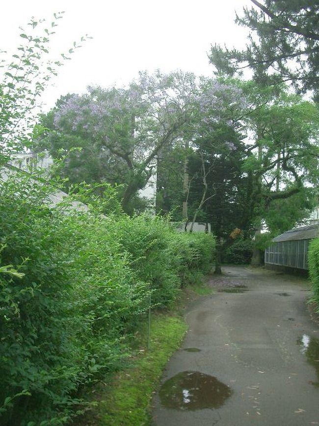青島への参道(?)にある宮崎県立亜熱帯植物園で植物のお勉強です。ここにもジャカランダが咲いていました。