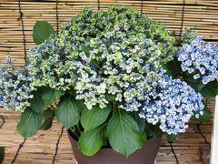 2011梅雨、なばなの里の紫陽花(3)ピンクピコティ・マナスル、カシワバ・八重、夏まつり、ブルー・ステッキ