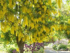 バンクーバーの初夏 黄藤のバンデューセン・ガーデン
