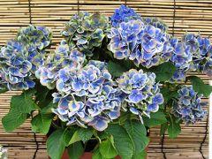 2011梅雨、なばなの里の紫陽花(4)ラブユー・キッス、カヌマ・ブルー、ミセス・クニコ、リベラバイス