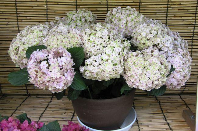 2011梅雨、なばなの里の紫陽花(5)ブルーリング、ババリア、ロイヤル・ホワイト、シュガー・ホワイト
