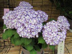 2011梅雨、なばなの里の紫陽花(6)ダンスパーティ・パープル、フラウユウカ、ユー・ミー・トゥギャザー