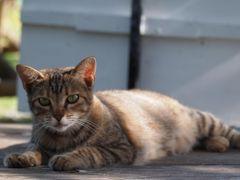 貯まったマイルで沖縄一人旅 ~沖縄の猫達~