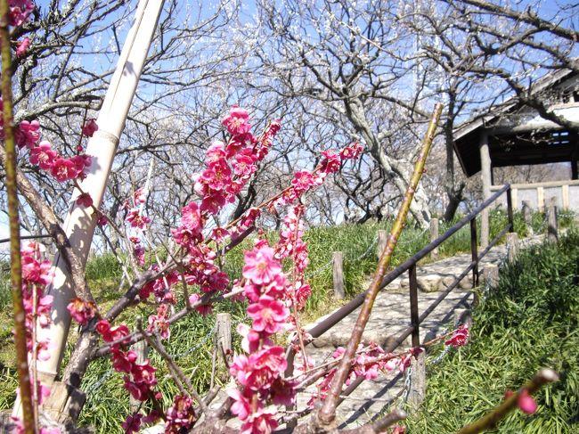 """三浦半島のほぼ中央にある、田浦梅林に3月11日のお昼頃に行った。<br /><br />京急安針塚駅から歩く、梅の木が多いとのことで前から訪れたかったところ。駐車場が無く、山の上の梅林なので、ハイキング気分で行った。<br /><br />よく晴れて、東京湾の向うに房総もよく見えた。まさか、この数時間後に大地震が起こるとは!<br /><br />帰路についたのは、1時過ぎ、京急田浦まで歩き、京急の弘明寺駅で降り、日帰り温泉の""""みうら湯""""で、ハイキングの汗を流していた時、<br />大地震に遭遇した。<br /><br />"""