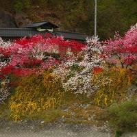花桃を探してあちこち 清内路~天竜峡