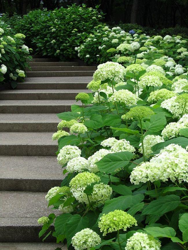 ♪八景島シーパラダイス  2万株の紫陽花♪
