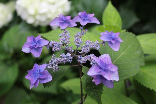 この日もなんとか雨は降らなかったので「新潟花日和」という地元新聞社発行の花の見頃と場所を書いた冊子を見ると<br />護摩堂山のあじさいが7月上旬まで見頃らしく、新潟市内もまだあじさいは咲いているので行ってみました。<br /><br />護摩堂山のあじさい園は山頂近くにあり、登山口からは約1800m、片道30分ぐらいでいけそうなので行ってみることに。<br /><br />2011年は6月初旬も涼しかったので梅雨時の花の開花は遅かったようです。