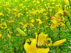 ところざわのゆり園c スカシユリ 多彩に咲き誇り ☆園芸品種鮮やかに