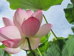 夏の花 ハスの花咲く  大船フラワーセンター