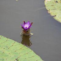 オニバスの咲く福島潟へ