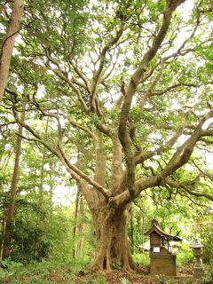 佐倉市散策(22)・・神社仏閣に名木・古木を訪ねて(樹齢1000~250年)。