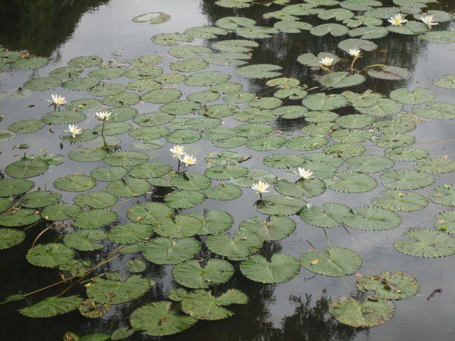 「カンボジアの喜怒哀楽」の続きです。<br /> 表紙の写真は、ベンメリアで咲いていた白いスイレンです。赤い花のスイレンはあちこちで見ましたが、白は此処だけしか記憶がありません。<br /> これからは、4日目(12月16日)から帰国日の17日までです。<br /><br /> 4日目から帰国までの旅程です<br />4日目 12月16日(木)<br />・ クバール・スピアン:水底に彫られたリンガとヨニで有名<br />             シュムリアップの北50km、下車後徒歩40分<br />     昼食:市内レストランでタイ風鍋料理<br />・ ロリュオス遺跡群:アンコール遺跡の前の時代のもの<br />・ 自由行動:<br />    トゥクトゥクでクメール伝統織物研究所&オールドマーケット<br />     夕食:ブルーパンプキンのデリでサンドイッチなどを購入<br />5日目 12月17日(金)<br />・ ベンメリア(オプション:2名以上1人65$)<br />    ジャングルに浸食された遺跡(シェムリアップから80km)。<br />    地雷の撤去が完了して観光が始まったのは2,000年からとのこと。<br />   昼食:ソカアンコール泊には無料の昼食付く<br />・ 自由行動 オールドマーケット+アーティザン・アンコールへ散歩<br />         その後、連れはホテルでのスパ<br />   21:00 シェムリアップ発(VN-800便)→22:40 ハノイ着<br />6日目 12月18日(土) 0:50 ハノイ発(VN-954便)→6:40 成田着