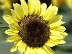 Solitary Journey [931] ささやかなひととき…花はみんなを元気にする<ひまわり満開(*^_^*)♪世羅高原農場>広島県世羅町
