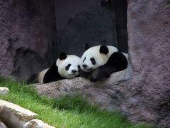 中国四川省(成都・雅安)・広州・香港・マカオのパンダを訪ねて(マカオ編) 2011.8