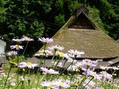 里山を紫色に染める北山友禅菊