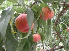 甘い桃が食べ放題!山梨桃狩り旅行