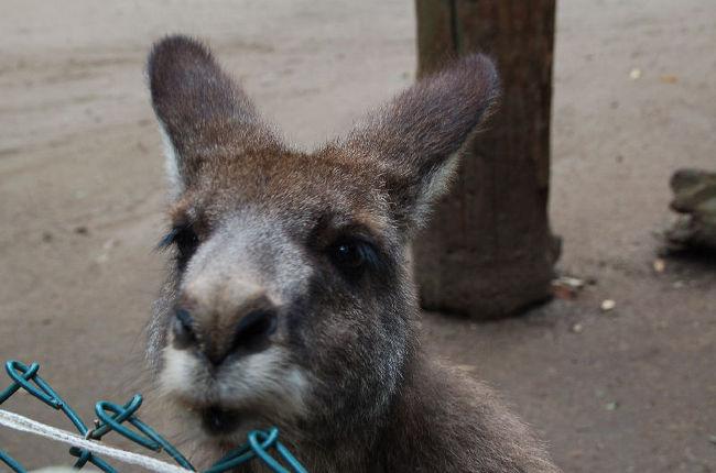 コアラパークには、コアラのほか、いろいろな動物たちがいました。ご覧の通りカンガルーもいて、利用客は簡単な開閉式の扉を開けて、カンガルーのいる広い柵の中に出入りできるようになっていました。そこで気付いたことがあります。実はカンガルーは、うさぎ顔だったのです。<br /><br />なお、このアルバムは、ガンまる日記:うさぎ顔のカンガルー[http://marumi.tea-nifty.com/gammaru/2011/09/post-26fc.html]とリンクしています。詳細については、そちらをご覧くだされば幸いです。