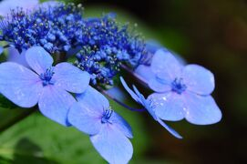なんとなく訪れた河口湖~天上山の紫陽花~