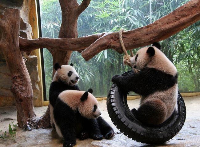 パンダに会いに中国四川省(成都・雅安)・広州・香港・マカオへ行って来ました。たくさんのかわいいパンダ達に会えました。夏はパンダの出産シーズン。成都大熊猫繁育基地で、生まれたばかりの赤ちゃんパンダ達にも会えました。<br />写真は広州の2歳のパンダ達。<br /><br /><日程><br />8/7 成田→上海経由北京<br />8/8 北京→成都→雅安へ移動<br />8/9 雅安碧峰峡基地パンダ見学<br />8/10雅安碧峰峡基地パンダ見学<br />8/11雅安碧峰峡基地パンダ見学→成都<br />8/12成都大熊猫繁育基地パンダ見学<br />8/13成都大熊猫繁育基地パンダ見学<br />8/14成都→広州→広州動物園パンダ見学→香港<br />8/15香港オーシャンパークパンダ見学<br />8/16香港→マカオコロアン島石排灣公園パンダ見学→香港<br />8/17香港<br />8/18香港→広州→広州香江野生動物世界パンダ見学<br />8/19広州→成田<br /><br />