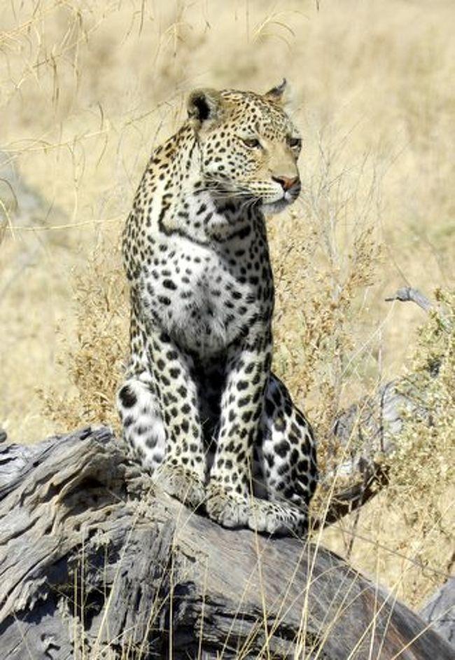 今年の1月に初めてのアフリカ、ケニア(マサイマラ)を旅しました。<br />アフリカを旅した多くの人が思う様に私たちも「又アフリカに行きたい!」と強く思いマイルが貯まっていたのでケニアから帰って早速飛行機の予約をしました。<br />今度は草原と違う光景を見たいとボツワナの大湿原オカバンゴを選びました。<br /><br />アフリカのロッジはいい値段するのですがその中でもボツナワは高く、<br />情報が少ないので、日本のツアオペに手配をお願いしたので今回は高く付いた旅になりましたが、次回のアフリカの為に現地手配出来る様、学習もしてきました。<br /><br />ついでにナミビアも行きたいと行程に追加したのですが宿泊ロッジを先に選んだ為 DUNE45には行けないミスをしましたが、選んだロッジはプライベートな空間で見晴らす限りのエリアに1軒だけと言うロケーションで専用の部屋係とお抱えシェフと言う贅沢なセレブ気分を味わえ、unforgettableな旅になりました。<br /><br />今回の行程は 成田(NH/全日空)→ 香港(SA/サウスアフリカ航空)→ ヨハネスブルグ(BP/ボツワナ航空)→ マウン(セスナ)→ オカバンゴ2泊(セスナ)→ サヴーテ2泊(セスナ)→ マウン1泊(SW/ナミビア航空)→ ウイントフック(セスナ)→ソフスレイ3泊(セスナ)→ ウイントフック1泊→ ヨハネスブルグ(SA/サウスアフリカ航空)→ 香港1泊(NH/全日空)→ 成田と11回も飛行機に乗った旅でした。<br /><br /><宿泊リスト><br />ボツワナ(オカバンゴ)CAMP OCAVANGO<br />  http://www.desertdelta.com/lodges/lodge/13/camp-okavango<br /><br />ボツワナ(Chobe National Park)SUVUTI SAFARI LODGE<br />http://www.desertdelta.com/lodges/lodge/8/savute-safari-lodge <br /><br />ボツワナ・マウン(Maun) The Royal Tree Lodge <br />http://royaltreelodge.com/home <br /><br />ナミビア・ナミブ砂漠(NamibRand Nature Reserve)WOLWEDANS PRIVATE CAMP <br />http://www.wolwedans-namibia.com/private_camp.htm<br /><br />ナミビア・ウインドホック(Windhoek)Hotel HEINITBURG<br />  http://www.heinitzburg.com/<br /><br />香港・九龍(Kowloon)Hotel The Ritz Carlton <br />http://www.ritzcarlton.com/ja/Properties/HongKong/Default.htm<br /><br />写真のレオパードはサヴーテ(SUVUTI) で撮りました。