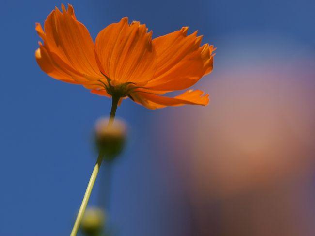 新聞に綺麗なコスモスの花の写真が目に留まりました。<br /><br />見たい 写したい、、あの 葛西臨海公園にコスモスとは。。<br /><br />幸い 1日 予定なし、、<br /><br />早速 首都高へ 葛西臨海公園へ<br /><br />葛西臨海公園<br />http://www.tokyo-park.or.jp/park/format/index026.html<br /><br />義臣旅記<br />2011 葛西臨海水族園 がんばれアクアマリンふくしまー1<br />http://4travel.jp/traveler/jiiji/album/10579138/<br />2011 葛西臨海水族園 がんばれアクアマリンふくしまー2<br />http://4travel.jp/traveler/jiiji/album/10579247/<br />2007 葛西臨海公園 大観覧車<br />http://4travel.jp/traveler/jiiji/album/10159696/