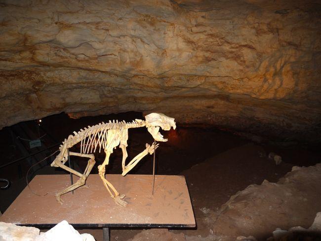 南オーストラリア州、世界遺産・ナラコート哺乳類化石地域とマウントギャンビア  <br />- World Heritage, Narcoorte Fossil Mammal Sites & Mt Gambier in Souht Australia - <br /><br />1994年に自然遺産に登録されたナラコート哺乳類化石地域。26以上もの洞窟のひとつビクトリア洞窟から発見されたのは、17万年以上前に絶滅したフクロライオンの化石でした。肉食カンガルーや大ニシキヘビなどの化石も多数発掘され、現在も発掘は続けられています。 ここで見つかれる化石のほとんどが、絶滅した巨大哺乳類で、その哺乳類が闊歩して時代に、鍾乳洞へ落ちる落とし穴のようなものが侵食で作られ、その穴に動物達が落ち、化石化、堆積していったものです。当時の事を思い描くと、とてもロマンを感じます。また、ウォナンビ化石センターでは古代生物に関する貴重な展示がされています。<br /><br />鍾乳洞は、個人的に歩けるものもありますが、ほとんどはツアーに参加する必要があります。ツアーの料金、時間は、下記のページをご参照下さい:<br />ナラコート鍾乳洞国立公園:www.environment.sa.gov.au/naracoorte<br /><br /><br />【ルート】<br />メルボルン市内(Melbourne CBD) - マウントギャンビア(Mt Gambier) 445km/6時間<br />マウントギャンビア(Mt Gambier) - ナラコート鍾乳洞国立公園(Narcoorte Caves National Park) 100km/1時間10分<br />*マウントギャンビアは大きな町なので、こちらをベース(宿泊地)とすると良いです<br />*メルボルン空港⇔マウントギャンビア空港間をREX航空が就航しています