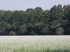 小さな旅 狭山市南入曽のそばの花 Buckwheat flower in Minami-iriso/Sayama-shi