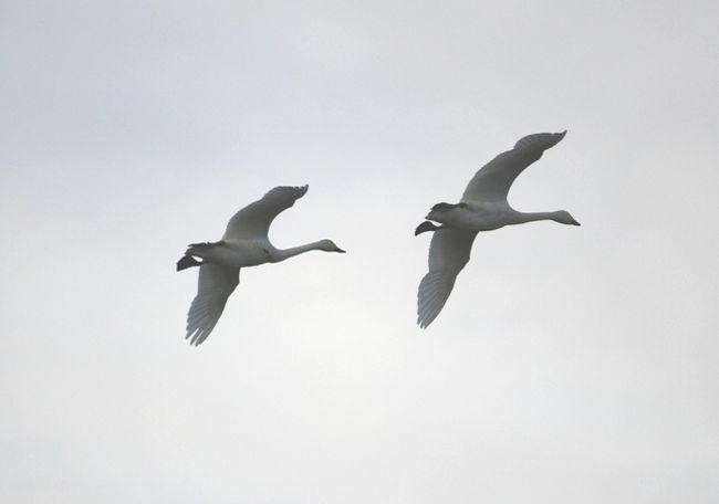 白鳥が既に飛来しているとのことで、福島潟へ。<br />青森市に住んでいるときに、白鳥は何度も見ていたけれど、<br />飛来時期は2月・3月だったので、10月に新潟に飛来しているとは、<br />知らなかった。<br /><br />行ってみると白鳥は水田に多く見られた。<br />てっきり水辺にいるものと思っていたのでこれにもオドロキ。<br /><br />行った時刻が夕刻だったので、移動する白鳥も多かった。<br />他に、雁と思われる鳥も福島潟にはいました。