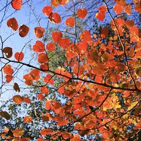 Solitary Journey [958] ハート形が可愛い'ベニマンサク'が紅葉の見頃を迎えていました。<おおの自然観察の森>広島県廿日市市