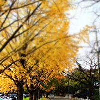 成田/佐倉ぐるり旅【25】~黄色く色付いたイチョウ並木~佐倉城址公園(紅葉)