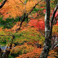 紅葉をもとめて牛滝山の大威徳寺、河内長野の観心寺、金剛寺、堺市の法道寺。いっぱい回ってきました。