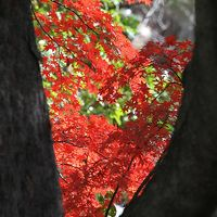 Solitary Journey [973] 今年最後の紅葉観賞かな?広島市内は今が見ごろ、紅葉本番です。<名勝:広島縮景園>広島市中区