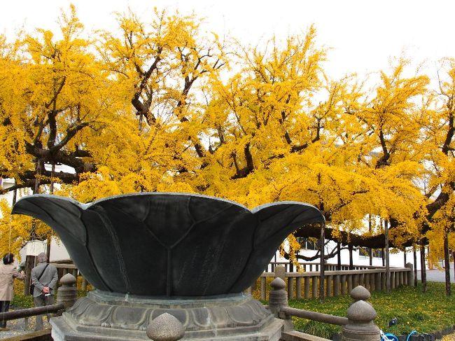 (西本願寺:イチョウの木)<br /><br />今年の紅葉は京都で最後にします。<br /><br />9月末の蔵王、月山から始まって、10月の尾瀬ケ原・至仏山、奥日光、<br />西沢渓谷と廻りましたが目指す紅葉には出会えませんでした。<br />それが京都に来てやっとcatch up<br /><br />京都の最後に二条城に寄りましたが、あいにく休城?だと。<br />いいかげんにしろ、ということでしょうか。<br />日にせいぜい3?4ケ所が限度でしょう。<br />あまりにも軽く廻りすぎ、との警告と受け止め,帰京することにします。<br />京都駅への途中、本願寺には寄らせてください。<br /><br />今回はとても良い京都の秋でした。感謝!<br /><br />・敷紅葉1年刻(とき)を積みかさね    <本願尼><br />・一片(ひとひら)の枯れ葉落ちたり余命知る    <悠遊人><br /><br />東京に戻り、さっそく等伯と狩野派の展示会に出向くも展示物には<br />期待はずれ。(出光美術館)<br /><br />再見! 毘沙門堂や神護寺、南禅寺、醍醐寺は来年です。<br /><br />★役人、この壮大なムダ<br /> http://www.janal.co.jp/TeaTime.html<br />