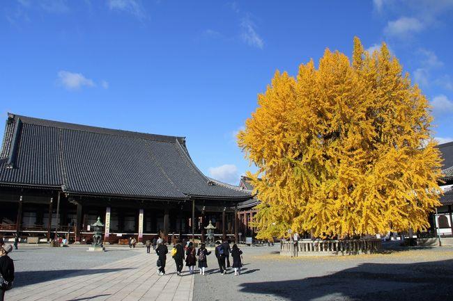 京都で銀杏といえば,西本願寺・東本願寺を忘れるわけにはいきません。<br />西本願寺の大銀杏は「逆さ銀杏」とも呼ばれ,逆さに植えられ,根から葉が出たといわれる特異な枝振りをしています。<br />東本願寺は比較的小振りな銀杏が多いものの,殺風景になりがちなお寺の景観にアクセントを与えてくれます。<br />