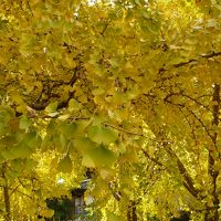 『そぶえイチョウ黄葉まつり』に行ってきました。