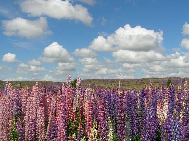 ニュージーランドも年末が近づくにつれ夏本番を迎えています。2012年の年始は北島を中心に雨模様の天気予報が出ていますが、クイーンズタウンを始めニュージーランド南島の観光地であるミルフォードサウンドやマウントクック、テカポなどは12月中旬からズッート夏の天気が続いていて、これが年始にまで続きそうな天気予報が出されています。<br /><br />この時期にこのニュージーランドの観光地や郊外の牧場地帯を訪れると本当に色鮮やかな夏の色を体感できます。イメージとしては青、黄、そして紫といった感じです。<br /><br />夏の青空はニュージーランドでは特に紫外線がきついこともありブルーが濃い感じ。またテカポ湖やプカキ湖などの氷河が削り取って出来上がった粉末状の岩屑が入り込んでいる水の色は夏の強い日差しの元より一層ミルキーブルーの湖面が神秘的に見えます。<br /><br />また牧場ではアブラナが一面咲き誇り、牧場ではない河原や丘の斜面などには今でもエニシダが咲き誇り共に鮮やかな黄色い花の色が目に飛び込んできます。<br /><br />そして高原地帯の道路際にはこれまでルピナスが咲き乱れていましたが、これからは同じ紫の花を咲かすバイパーズ・バグロスやフォックスグローブ(ジキタリス)が同じく道路際にたくさん見られます。そしてもう直ぐすると牧場の中などにも紫の花を咲かすアザミがたくさん見られるようになります。