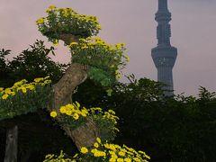 亀戸天神社 菊まつり 日没時に覆いを ☆丹精こめた菊花せいぞろい